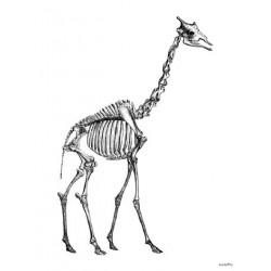 Affiche Giraffe Skeleton